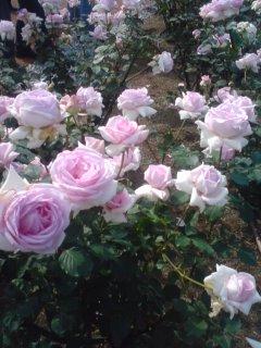 薔薇を見に行ってきました