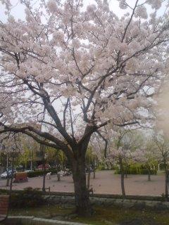 新潟はようやく桜満開です